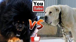 Тибетский мастиф против Алабая. Tibetan mastiff against Alabai.