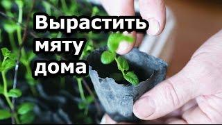 Как вырастить мяту на подоконнике - размножение мяты черенками