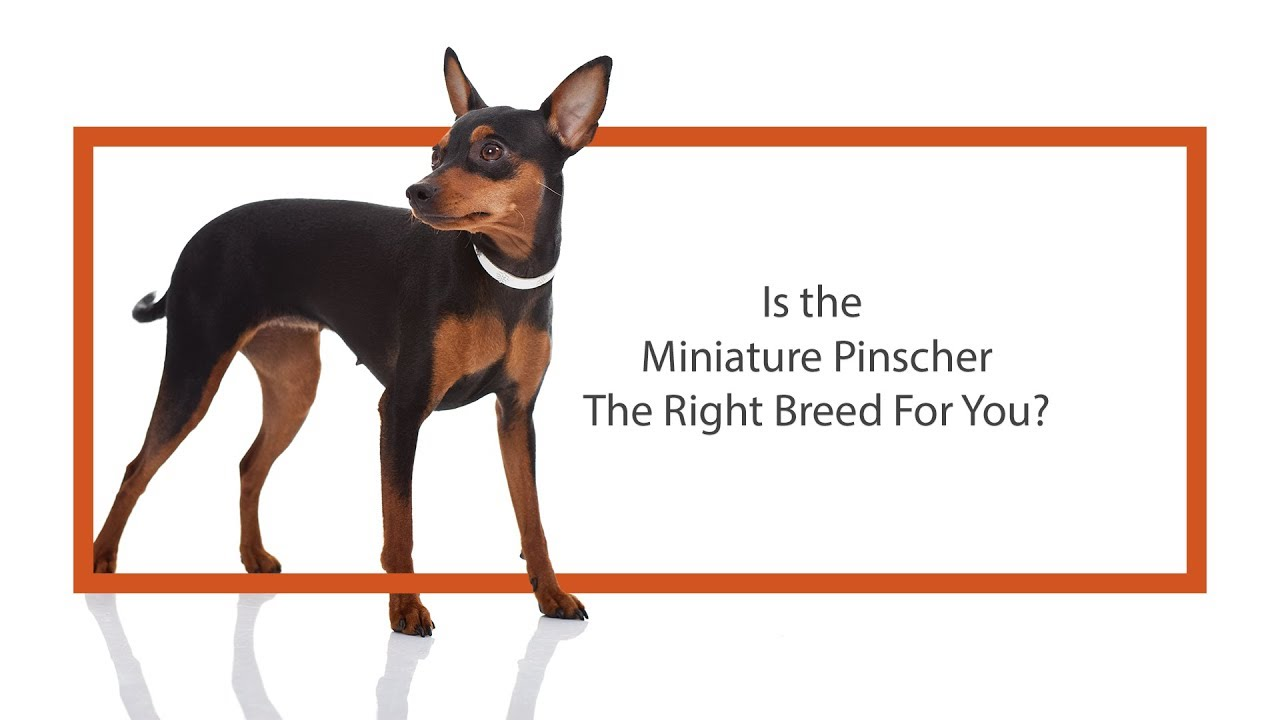Miniature Pinscher Puppies Petland Knoxville