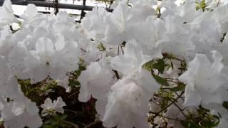 Красивые белые Азалии