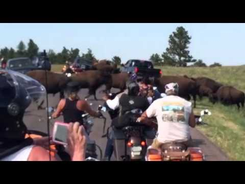 2014 Harley Davidson Street Glide versus buffalo custard park South Dakota Sturgis 75th anniversary