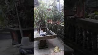 Quế lan hương - phong lan phù cừ 2019. 0987189101