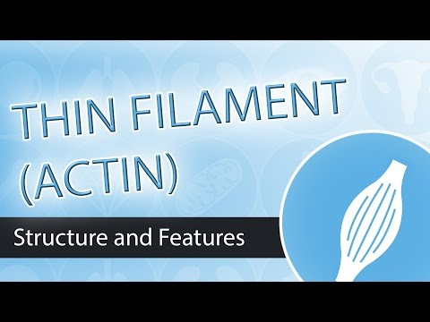 Thin Filaments and Actin Structure