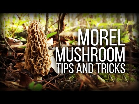 Morel Mushrooms - Tips And Observations - Wild Edibles Series