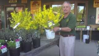 How To Add Color To Your Landscape Show-Off Starlet Forsythia