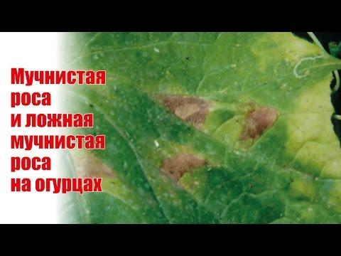 Пероноспороз огурцов. Как его лечить, если идет плодоношение