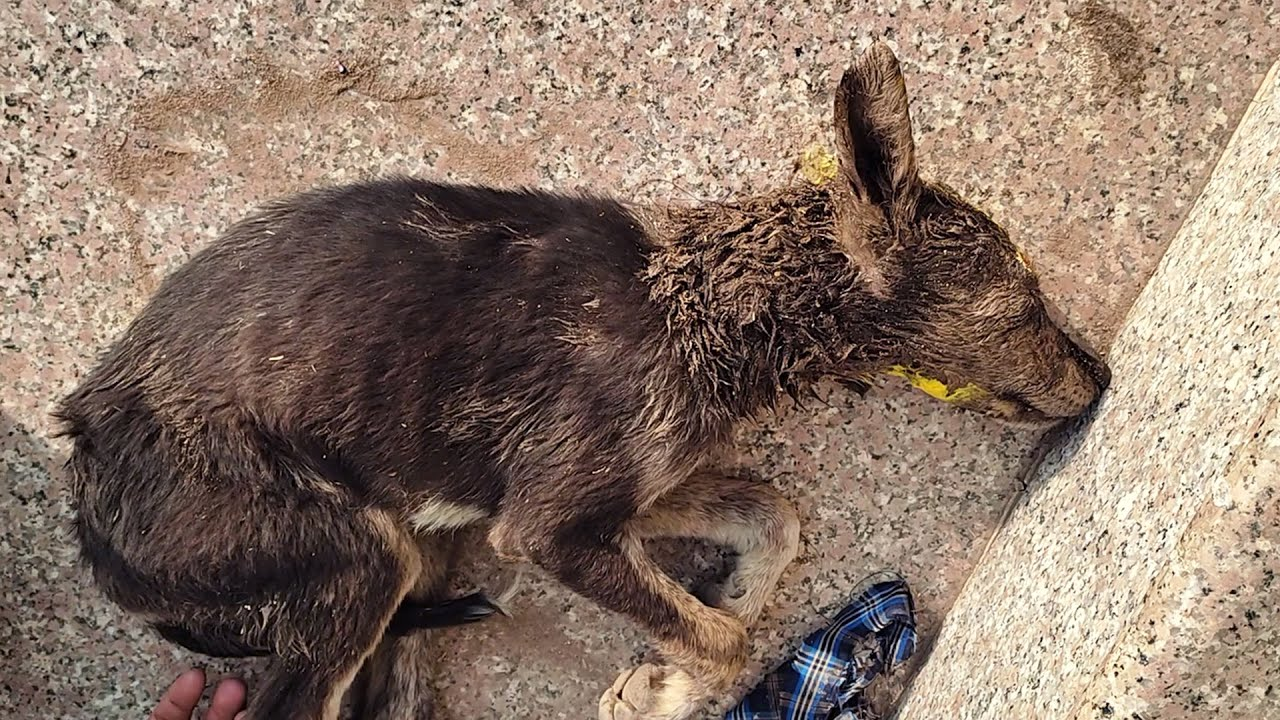 Download Puppy close to death, rescued after animal attack.
