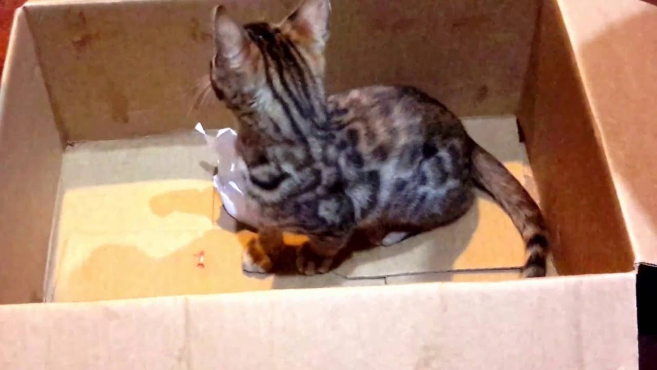 Tzarinacat Bengal kittens New Zealand Auckland - YouTube