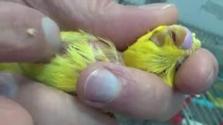 Попугай Желток заболел/Parrot Yolk sick