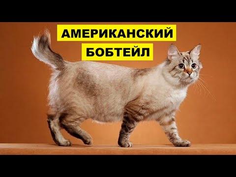 Кошка Американский бобтейл плюсы и минусы породы | Породы кошек | Порода кошек Американский бобтейл