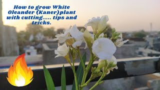 How to grow White Oleander (Kaner)plant with cutting..... tips and tricks.