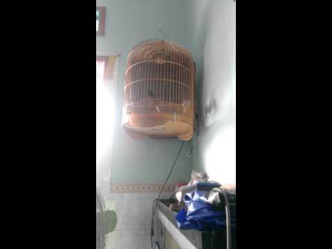 chich choe lua hot tieng ga