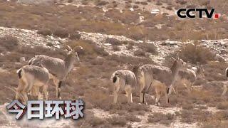 [今日环球] 青海:岩羊路边觅食 成青藏线靓丽风景 | CCTV中文国际