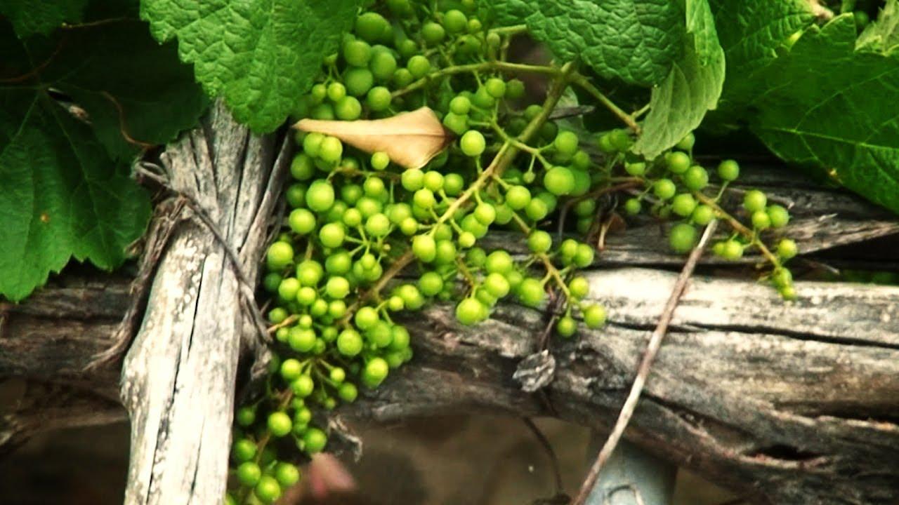 Como hacer crecer una uva en parra youtube - Como preparar unas judias verdes ...