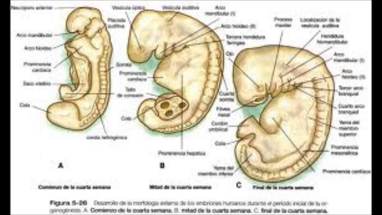 Embriología del Sistema Nervioso - YouTube