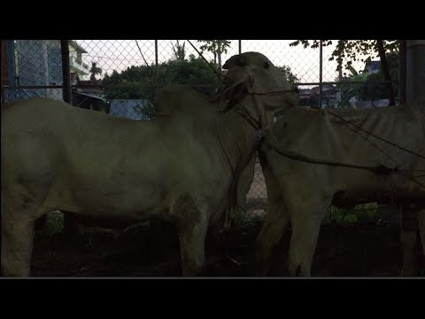Wow! Amazing Man Breeding Cow In Prek Luong Village, How To Breds Cows In Kandal Province