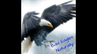 NADC EAGLE NEST 3.17.21 V5 GETS ATTACKED BY OWL!