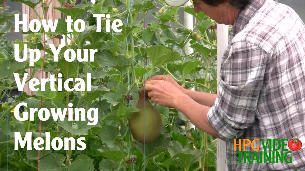 How To Sling Vertical Growing Melons Youtube