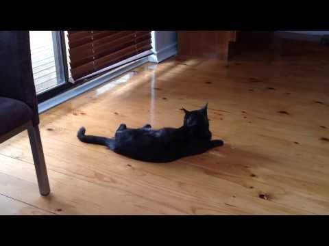 Cat tapping tail to music