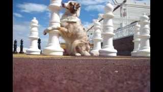 Трюки от собаки породы Австралийская Овчарка(Набережные Челны Fraytal` Eileen Fantastic Dream (Фанта) Австралийская овчарка (Аусси) Позитивный ролик с набором трюков..., 2013-07-05T17:39:16.000Z)