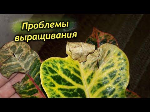Почему засыхает или облетает листва у Кротона. Проблемы выращивания в домашних условиях.