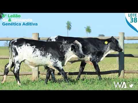 LOTE DUPLO 38 - 5381 BJ / 5380 BJ - 6º Leilão Gir & Girolando Genética Aditiva