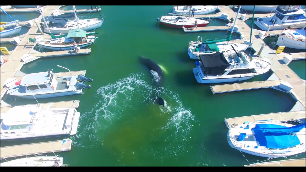 Funny Video: Drone Captures Humpback Whale Lost In a Marina