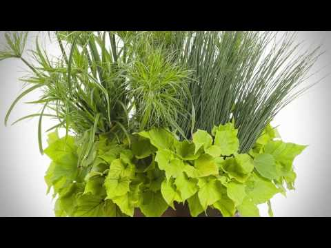 Graceful Grasses® Prince Tut™ from Proven Winners