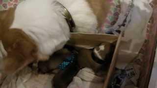 出産直後のウェルシュコーギー モモ。産箱の子犬を一生懸命世話していま...