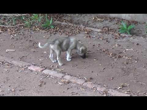 Afghan Kuchi Puppy