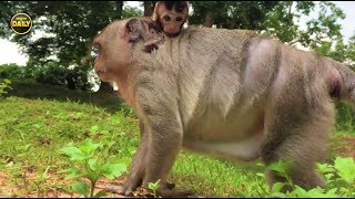 Mum want her baby walk your self real life cute monkey Angkor Daily 719
