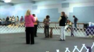 Mocha, Irish Terrier, Novice Obedience, Santa Rosa, August 29, 2010, Mensona Dog Training Club