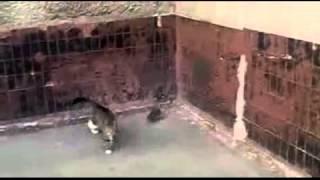 Битва крысы с кошкой. Кошмар.