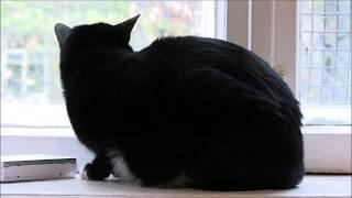 Обзор на кошку – обыкновенная домашняя черная кошка