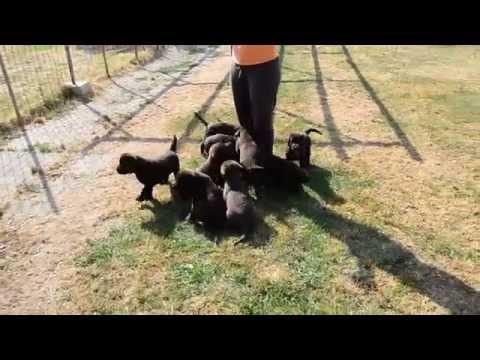 Cuccioli di labrador chocolate a 50 giorni