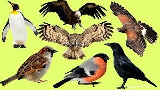 Животные для детей|  Учим Птиц | Учим названия и голоса Птиц для детей | Учим животных и их звуки