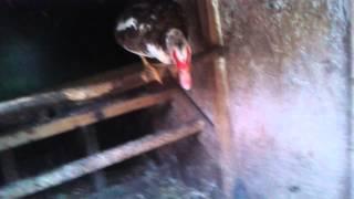 Canard qui reste percher comme une poule!!!