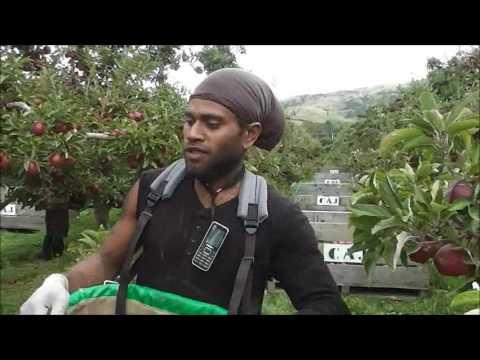 vanuatu boys picking apple in NZ