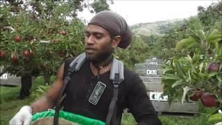 Gambar cover vanuatu boys picking apple in NZ