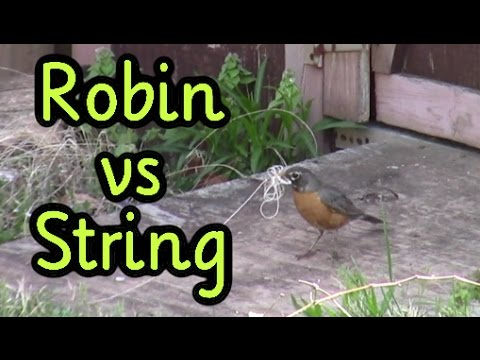 robin-gathers-nesting-material