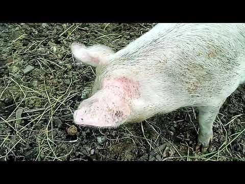 Секс с свином видео хорошая