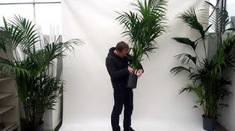 Produktvideo: Kentia Palme 170/180cm Zimmerpflanze.