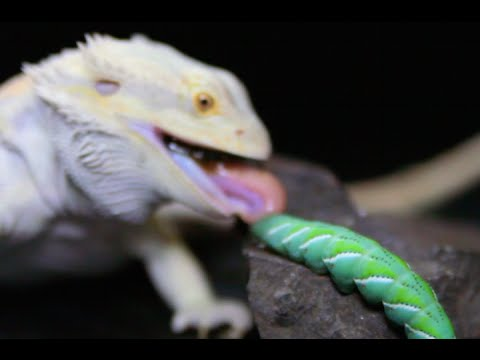 Lizard insect music video