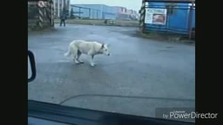 Тает лёд,собака танцует