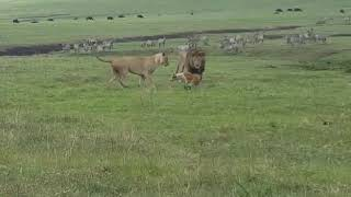 なんかヤバそうだから触らんとこ…(byライオン)。百獣の王に向かって吠えたてる犬