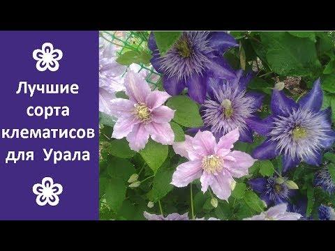 ❀ Лучшие сорта клематисов для Урала