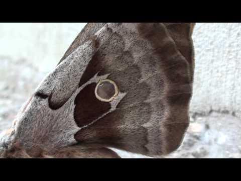 Polyphemus Moth (Saturniidae: Antheraea polyphemus) Lateral View