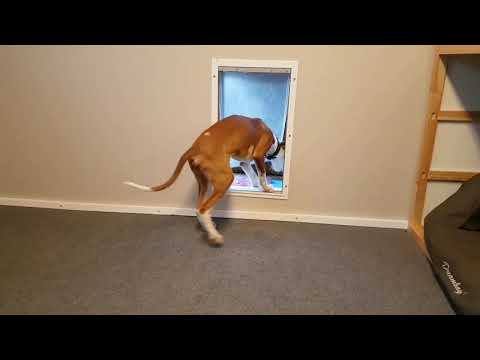 PODENCO IBICENCO / IBIZAN PUPPY LEARNS THE DOG-DOOR