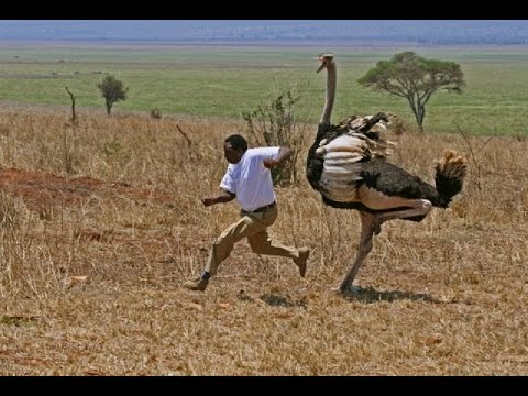 OSTRICH ATTACK PEOPLE 720p - YouTube