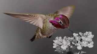 ? Antonio Arena ~ Hummingbird V&D